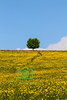 Buttercup Meadow, Cotswolds, England
