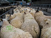 Spring Sheep Market at Abergavenny, Wales