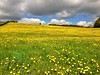 Buttercup Meadow in the Cotswolds