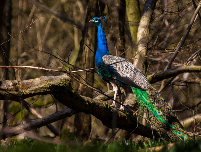 Wild Peacock in Oxfordshire  1