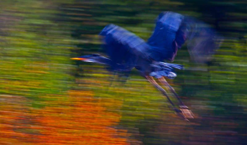 Giant Blue Heron  ICM  3