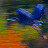 Giant Blue Heron  ICM  3
