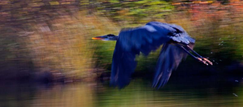 Giant Blue Heron  ICM  1