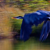 Giant Blue Heron  ICM  1