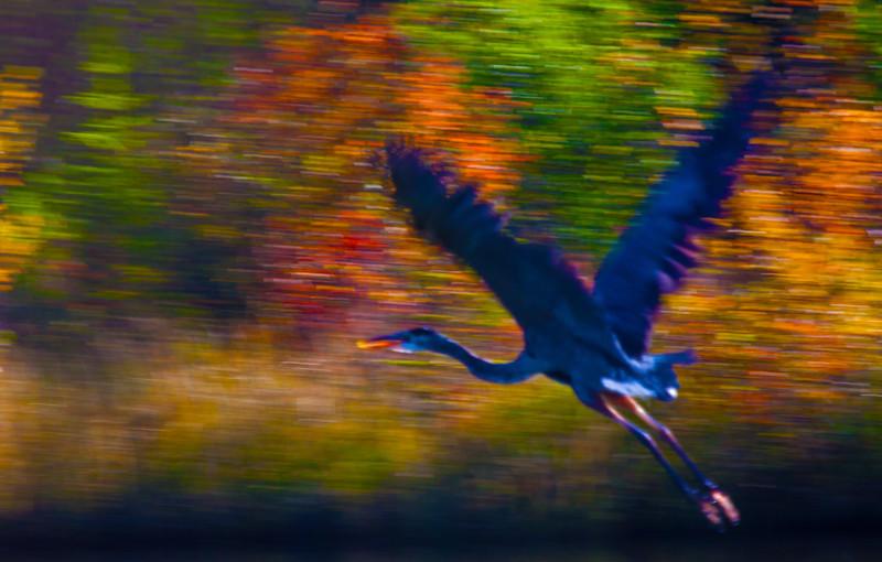 Giant Blue Heron  ICM  2