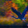Giant Blue Heron  ICM  2