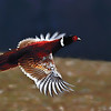 Pheasant Flying  2