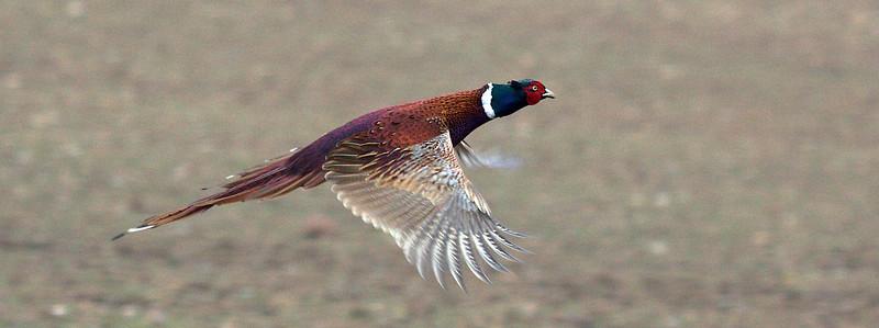 Pheasant flying  1