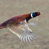 Pheasant flying  1