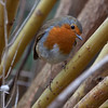 Robin in willow  1