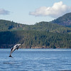 Pacific White Sided Dolphin Jumping