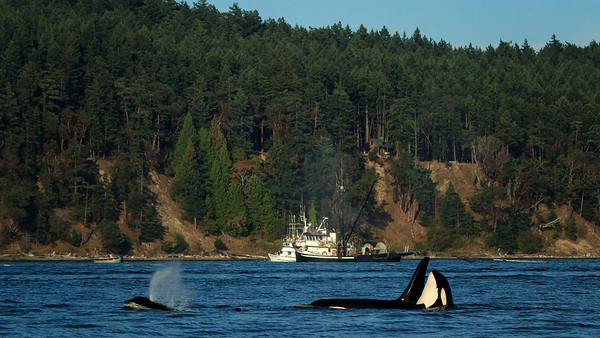 Orcas and Fish Boat