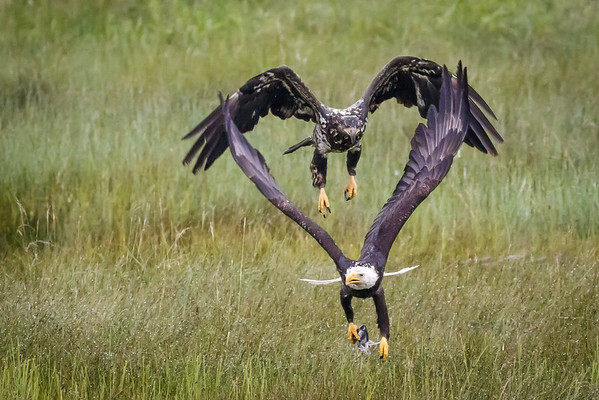 Two Bald Eagles with Heart