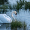 Larry the Mute Swan