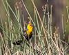 A yellow-headed blackbird (Xanthocephalus xanthocephalus). Taken at Little Lac Le Jeune, Lac Le Jeune Provincial Park, British Columbia, Canada.