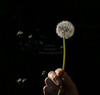 dandilion seed wishes