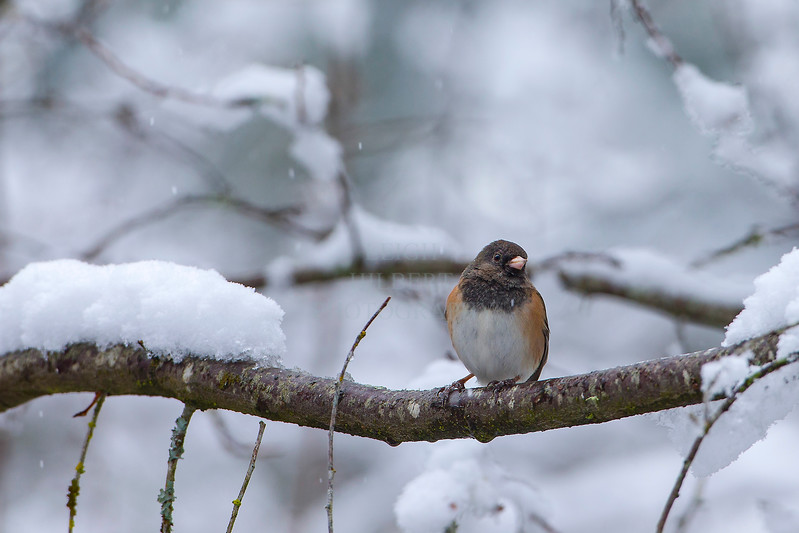 Black eyed Oregon Junco waiting for spring!