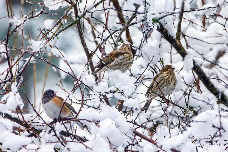 Snow; Birds; Blackeyed Oregon Junco snow; purple finch female