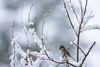 Black eyed Oregon Junco snow
