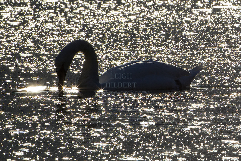 Trumpeter swan backlit  water sparkles reflection
