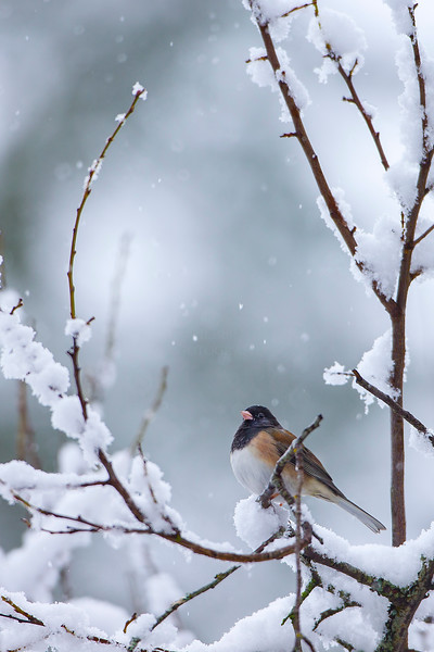 X17_0818_Snow_Bird_crop