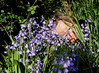 ~ Bluebell Fairy Dreams Sweetly ~