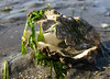 A Smiling, or maybe even laughing,Oyster Shell :)<br /> ~~ a little seaweed for decoration<br /> <br /> For an empty shell, I thought it still had life and was still laughing about happy days :)