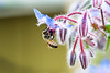 Honey bee on a borage flower blossom