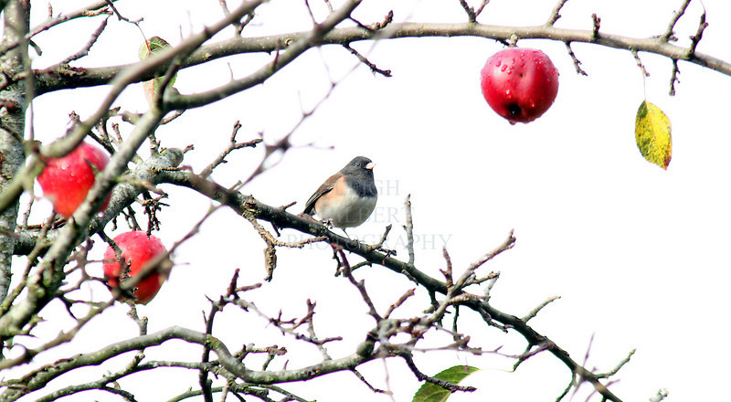 Winter Apples<br /> <br /> The bird is a Dark-eyed Junco <br /> <br /> Not photo shopped, just overexposed