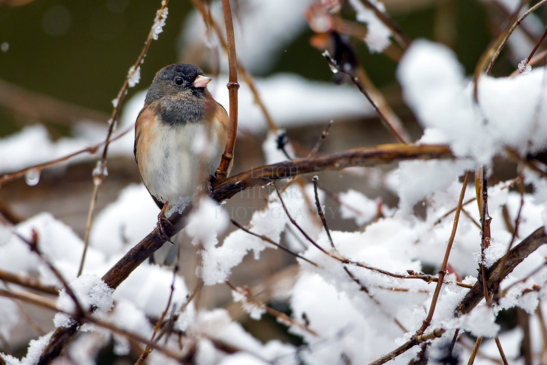 Black eyed Oregon Junco  perched - spring snow