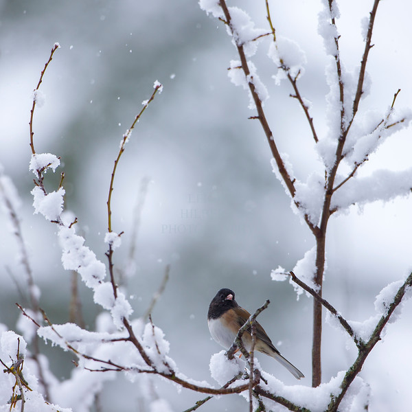 Black eyed Oregon Junco in snow