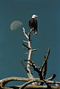 Bald eagle in snag with setting daytime moon