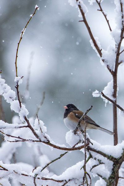 Black eyed Oregon Junco snow falling
