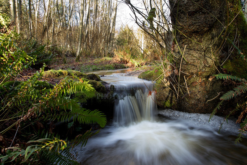 A small creek swollen from winter rains in an alder tree forest: Salt Spring Island BC, Canada<br /> <br /> Image# 3316