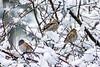 Black eyed Oregon Junco snow and two female purple finch
