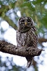 Camera	 Canon EOS-1D Mark IV ISO	 640 Focal Length	 500mm Aperture	 f/10 Exposure Time	 0.1s (1/10) Name	 LRH_414Barred Owl.jpg Size	 3264 x 4896 Date Taken	 2013-07-13 20:12:15