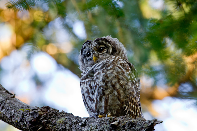 Camera	 Canon EOS-1D Mark IV ISO	 400 Focal Length	 500mm Aperture	 f/8 Exposure Time	 0.0666s (1/15) Name	 LRH_4106-2_Barred Owl.jpg Size	 4896 x 3264 Date Taken	 2013-07-13 19:58:54