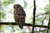 Camera	 Canon EOS-1D Mark IV ISO	 800 Focal Length	 500mm Aperture	 f/8 Exposure Time	 0.1666s (1/6) Name	 LRH_4270_Barred Owl Ruckle.jpg Size	 4896 x 3264 Date Taken	 2013-07-17 10:00:58
