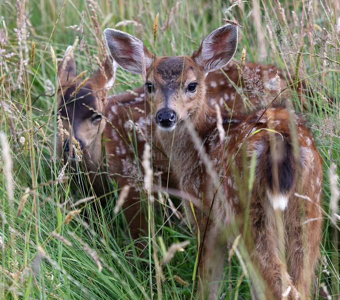 Camera	 Canon EOS-1D Mark IV ISO	 640 Focal Length	 235mm Aperture	 f/8 Exposure Time	 0.004s (1/250) Name	 Two Fawns_D69D0852.jpg Size	 3578 x 3163 Date Taken	 2011-07-21 18:40:48