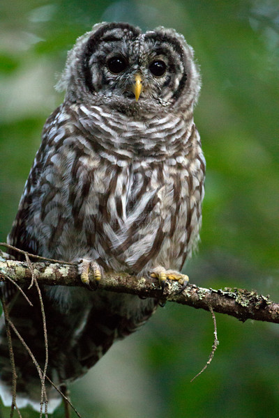 Camera Canon EOS-1D Mark IV ISO 10000 Focal Length 500mm Aperture f/4 Exposure Time 0.0031s (1/320) Name LRH_4209_Barred Owl.jpg Size 3264 x 4896 Date Taken 2013-07-13 20:29:59