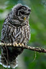 Camera Canon EOS-1D Mark IV ISO 10000 Focal Length 500mm Aperture f/4 Exposure Time 0.0031s (1/320) Name LRH_4210_Barred Owl.jpg Size 3264 x 4896 Date Taken 2013-07-13 20:31:18