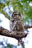 Camera Canon EOS-1D Mark IV ISO 400 Focal Length 500mm Aperture f/10 Exposure Time 0.1666s (1/6) Name LRH_4134-2_Barred Owl.jpg Size 3264 x 4896 Date Taken 2013-07-13 20:09:12