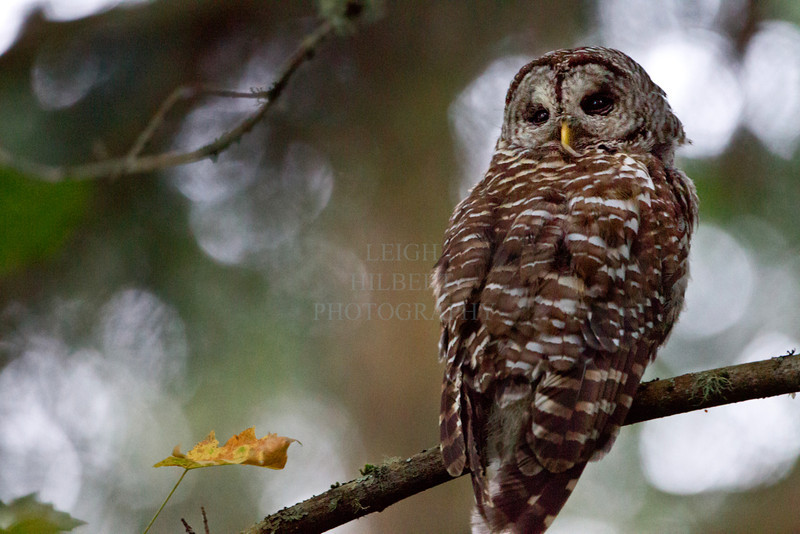 Camera Canon EOS-1D Mark IV ISO 12800 Focal Length 500mm Aperture f/4 Exposure Time 0.0769s (1/13) Name LRH_4340-2_Ruckle Owl dusk.jpg Size 4896 x 3264 Date Taken 2013-07-18 21:15:26