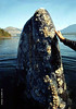 Friendly Gray whale #2<br /> <br /> Gray whale in the wild sticks her head high above the edge of a boat and encourages a few people to touch her.. Clayquot Sound, west coast Vancouver Isand BC Canada<br /> <br /> NOTE: This photo is a sample only-- it is a semi-low resolution scan from a color negative. (Okay for 16x24-inch or smaller)<br />  If you really want a high resolution print or digital download of this image please contact me to arrange that: Leigh (Lee) Email address -    lavalee808@gmail.com