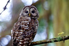 Camera Canon EOS-1D Mark IV ISO 500 Focal Length 500mm Aperture f/6.3 Exposure Time 0.5s (1/2) Name LRH_4288-2_Ruckle Owl dusk.jpg Size 4896 x 3264 Date Taken 2013-07-18 20:18:16