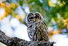 Camera	 Canon EOS-1D Mark IV<br /> ISO	 400<br /> Focal Length	 500mm<br /> Aperture	 f/6.3<br /> Exposure Time	 0.0333s (1/30)<br /> Name	 LRH_4105-2_Barred Owl.jpg<br /> Size	 4896 x 3264<br /> Date Taken	 2013-07-13 19:58:41
