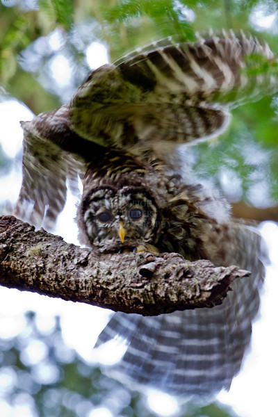 Camera Canon EOS-1D Mark IV ISO 640 Focal Length 500mm Aperture f/10 Exposure Time 0.25s (1/4) Name LRH_4158-2_Barred Owl.jpg Size 3264 x 4896 Date Taken 2013-07-13 20:12:53