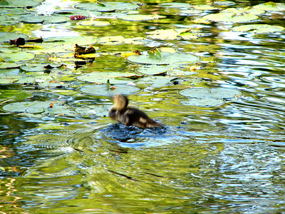 Duckling jumping to catch flies