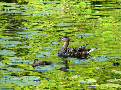 Duckling and mama duck