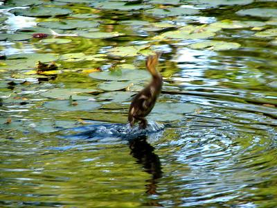 duckling to catch flies